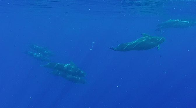 pilot whales in kona hawaii