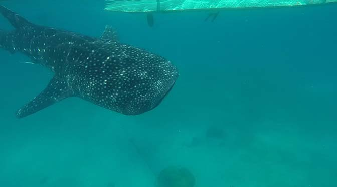 whale shark in oslob philippines
